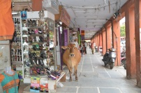 Cow next to shops in Jaipur. Normal thing
